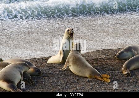 Southern Elephant Seal (Mirounga leonina) males jousting on the beach near Punta Cantor, Peninsula Valdes, Patagonia, - Stock Photo