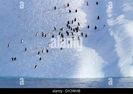 Adult Gentoo penguin, penguins (Pygoscelis papua) on Antarctic, iceberg, ice berg, in Antarctica. - Stock Photo