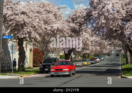 Cherry blossom trees in full spring bloom along Moss street-Victoria, British Columbia, Canada. - Stock Photo