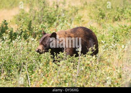 Brown Bear in Waterton National Park, Alberta, Canada - Stock Photo
