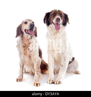 two spaniels in front of white background - Stock Photo