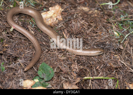 Slow worm (Anguis fragilis). Adult male, showing blue spots on the back. Only some males have these. - Stock Photo