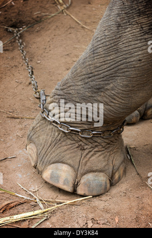 Closeup of an elephant's foot tied to a metal chain