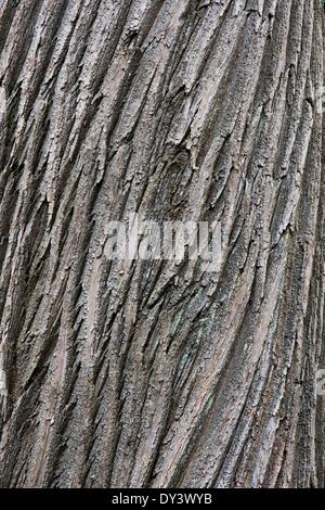 Castanea sativa. Sweet Chestnut tree bark - Stock Photo