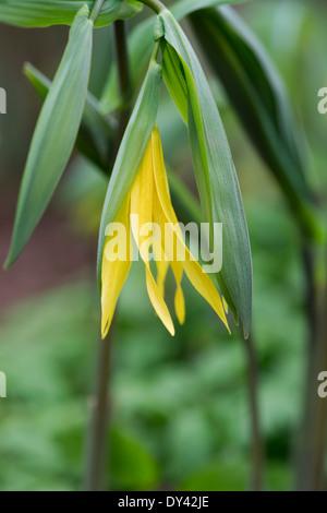Uvularia grandiflora. Large flowered Bellwort or Merrybells - Stock Photo