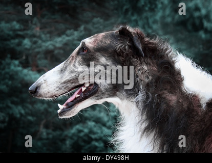 Portrait shot of Russian borzoi dog - Stock Photo