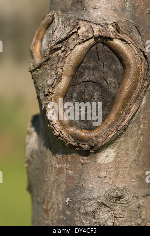 Cut branch stump on crab apple tree painted to preserve the trunk from fungal attack - Stock Photo