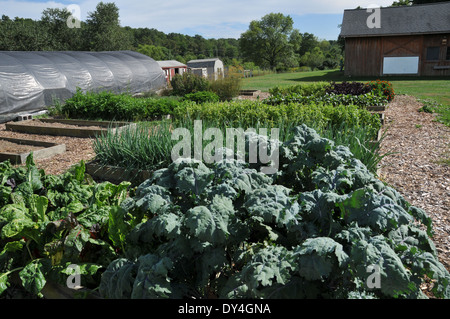 Swiss Chard growing and on sale at farmers market - Stock Photo