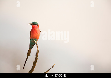 Southern Carmine Bee-eater - Merops nubicoides Stock Photo