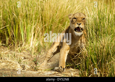 Lioness - Panthera leo - charging to protect her young cubs in the grass - Stock Photo