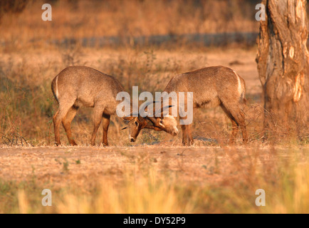 Waterbuck - Kobus ellipsiprymnus - young bulls sparring in dawn light - Stock Photo