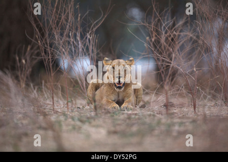 Lioness - Panthera leo - in evening light - Stock Photo