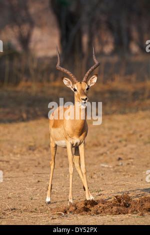 Impala - Aepyceros melampus - ram - Stock Photo