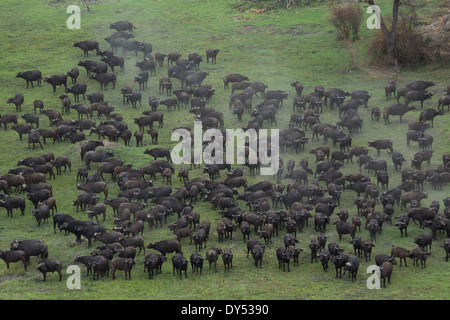 Aerial view of a herd of buffalo, Okavango Delta, Chobe National Park, Botswana, Africa - Stock Photo