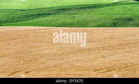 A ripe wheat field near Knighton, Powys - Stock Photo
