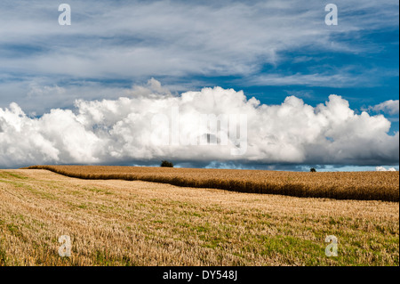 Cumulus clouds over a partly cut field of ripe barley on Stonewall Hill near Knighton, Powys - Stock Photo