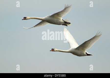 Mute swan - Cygnus olor - in flight - Stock Photo
