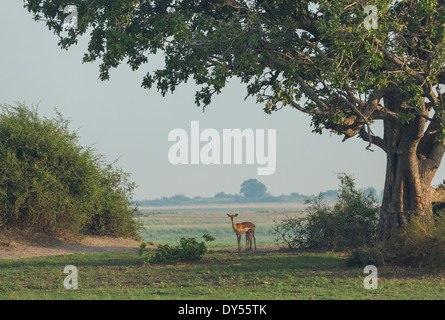 Impala (Aepyceros melampus) standing with it's fawn - Stock Photo