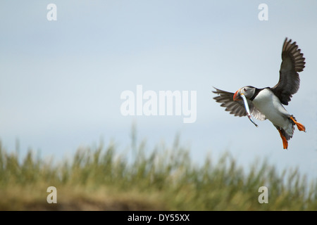 Atlantic Puffin in flight with fish in mouth, Farne Islands, Northumberland, England