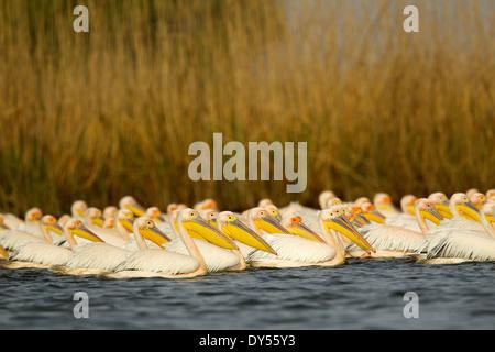 White Pelicans, Danube Delta, Romania - Stock Photo