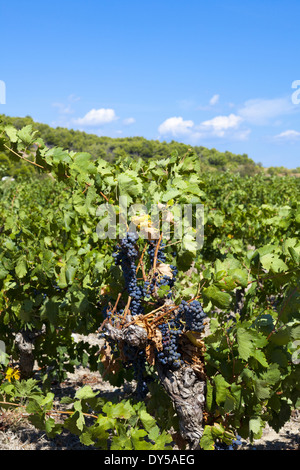 Vineyards at Gruissan in the region Languedoc-Roussillon in southern France - Stock Photo