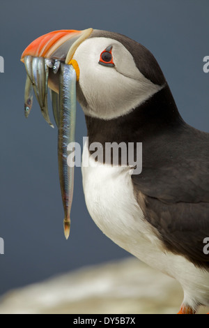 Atlantic Puffin with fish in mouth, Farne Islands, Northumberland, England - Stock Photo