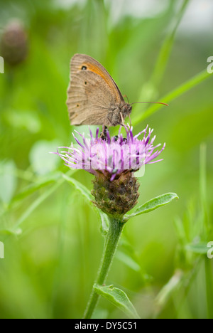 Meadow Brown Butterfly, Maniola jurtina feeding on Knapweed, Centaurea nigra. - Stock Photo