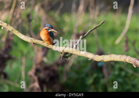 Kingfisher sitting on a tree branch looking around trying to spot fish in the river below.
