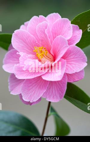 Close up of Camellia x williamsii Donation, Camellia. Shrub, March. Single pink flower. - Stock Photo