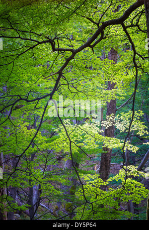 Bright green leaves on tree in forest in the Rio de las Vueltas valley near El Chalten, Patagonia, Argentina - Stock Photo