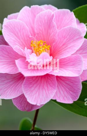 Close up of Camellia x williamsii Donation, Camelia. Camellia. Shrub, March. Single pink flower. - Stock Photo