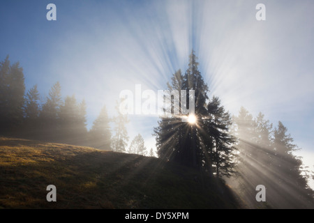 Spruces in the fog, Berchtesgaden region, Berchtesgaden National Park, Upper Bavaria, Germany, Europe - Stock Photo