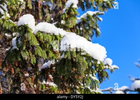 Snow-covered tree branch on blue sky - Stock Photo