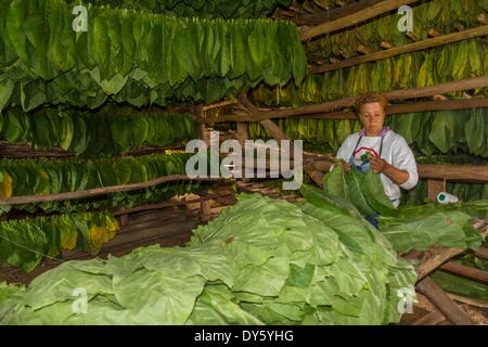 Tobacco drying shed, Pinar del Rio, Cuba, West Indies, Caribbean, Central America - Stock Photo