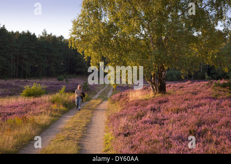 Birch at a path through the heather, Lueneburger Heide, Lower Saxony, Germany - Stock Photo