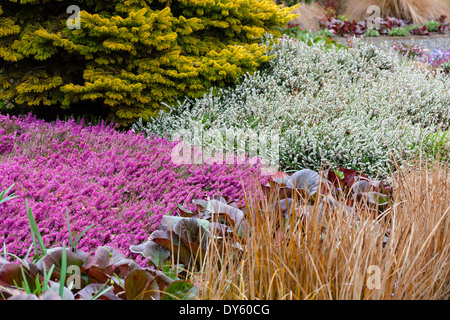 Winter plant association with conifer and heathers. April. - Stock Photo
