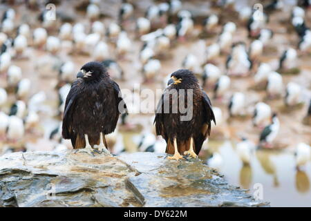 Two wet striated caracara (Phalcoboenus australis) in front of a colony of king cormorants, Sea Lion Island, Falkland - Stock Photo