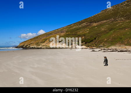 Two king penguins (Aptenodytes patagonicus) look out to sea on white sand beach, the Neck, Saunders Island, Falkland Islands