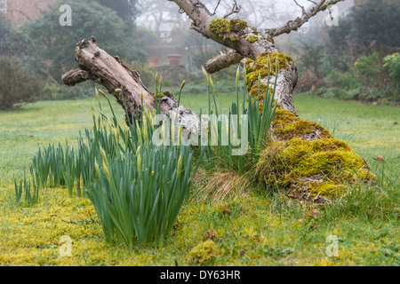 Daffodils growing in garden under old apple tree in spring. Fourth of sequence of 10 (ten) images photographed over - Stock Photo