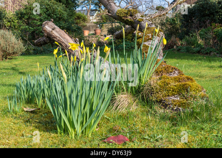 Daffodils growing in garden under old apple tree in spring. Fifth of sequence of 10 (ten) images photographed over - Stock Photo