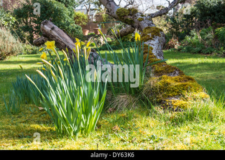 Daffodils growing in garden under old apple tree in spring. Sixth of sequence of 10 (ten) images photographed over - Stock Photo