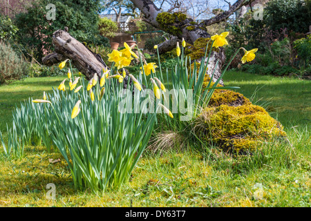 Daffodils growing in garden under old apple tree in spring. Seventh of sequence of 10 (ten) images photographed - Stock Photo