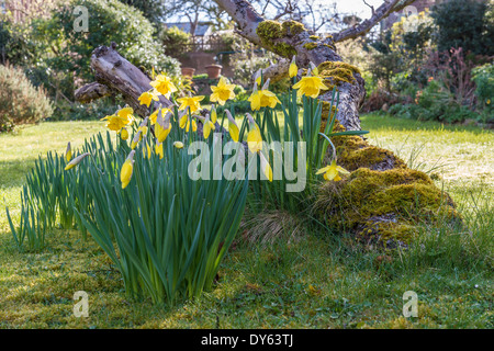 Daffodils growing in garden under old apple tree in spring. Eighth of sequence of 10 (ten) images photographed over - Stock Photo
