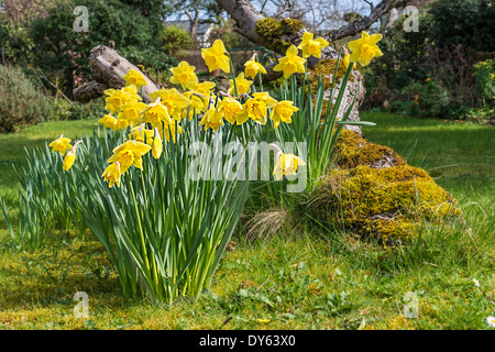 Daffodils growing in garden under old apple tree in spring. Ninth of sequence of 10 (ten) images photographed over - Stock Photo