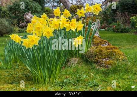 Daffodils growing in garden under old apple tree in spring. Tenth of sequence of 10 (ten) images photographed over - Stock Photo