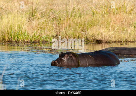 Hippopotamus (Hippopotamus amphibius), Khwai Concession, Okavango Delta, Botswana, Africa - Stock Photo