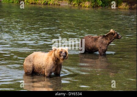 Kamchatka brown bears (Ursus arctos beringianus), Kurile Lake, Kamchatka, Russia, Eurasia - Stock Photo