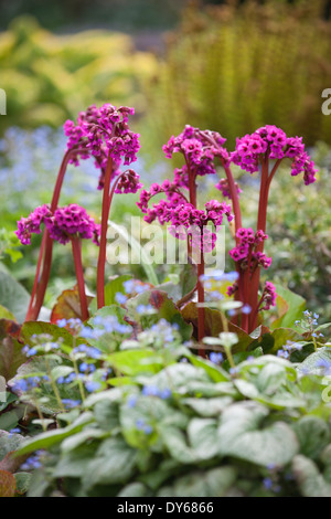 Bergenia Eroica, Elephant's Ear, Megasea. Perennial. Bright pink flowers in mixed spring border. - Stock Photo