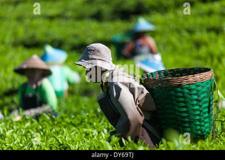 Group of people harvesting tea (Camellia sinensis) on tea plantation near Ciwidey, West Java, Indonesia - Stock Photo