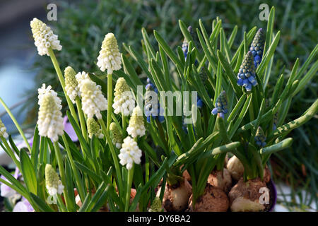 Berlin, Germany. 29th Mar, 2014. Grape hyacinth (Muscari) blossom in Berlin, Germany, 29 March 2014. Photo: Jens - Stock Photo